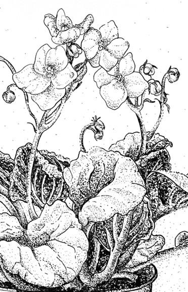 African Violet (Detail)- Pen