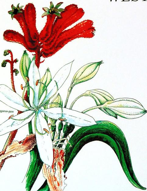 W. Australia Wild Flowers- Pen & Watercolor