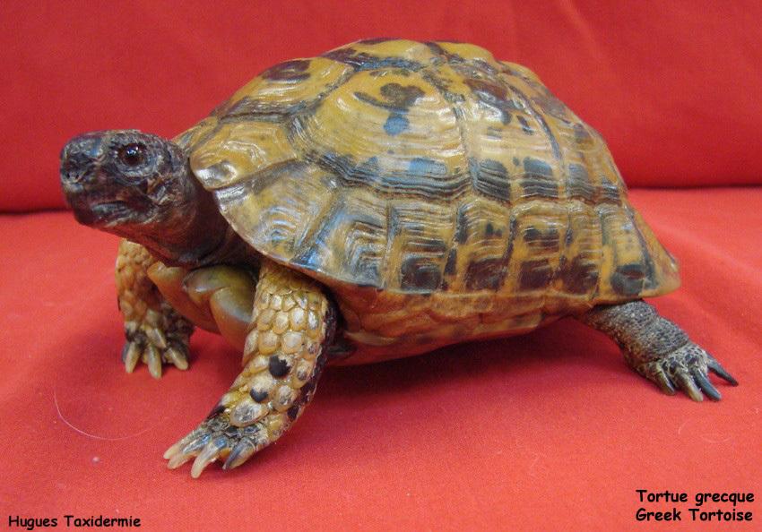 tortue+grecque+greek+tortoise.jpg