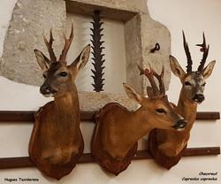 cheuvreuil - roe deer