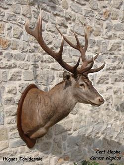 cerf_élaphe_-_red_deer