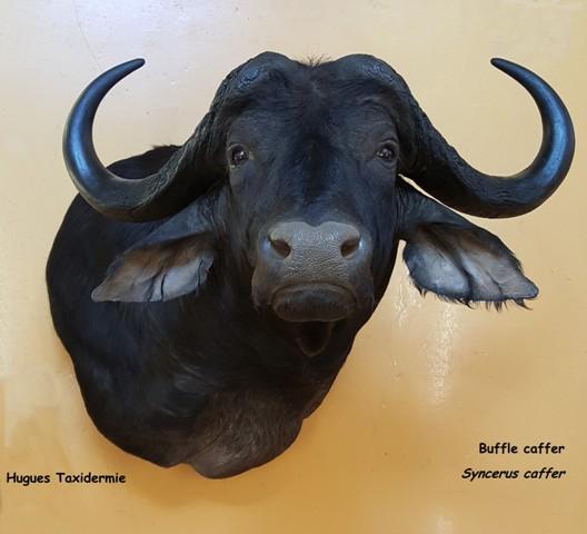buffle caffer - Cap buffalo