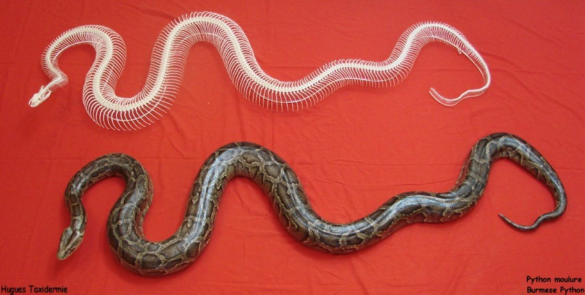 python+moulure+et+squelette+burmese+python+and+squeleton.jpg