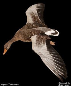 oie_cendrée_-_grey_lag_goose