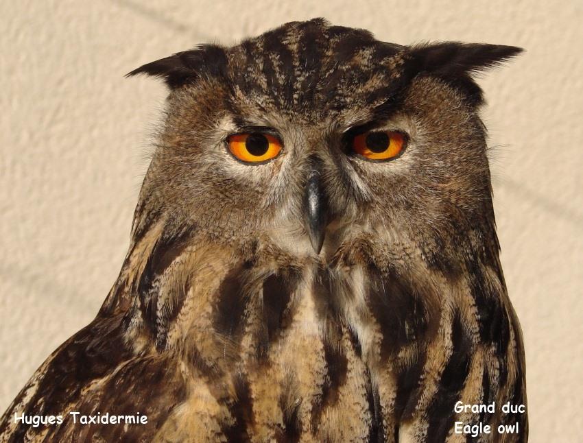 grand+duc+eagle+owl.jpg