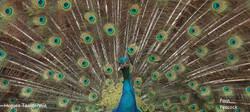 paon+peacock.JPG