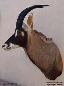 hippotrague rouanne - Roan antilop