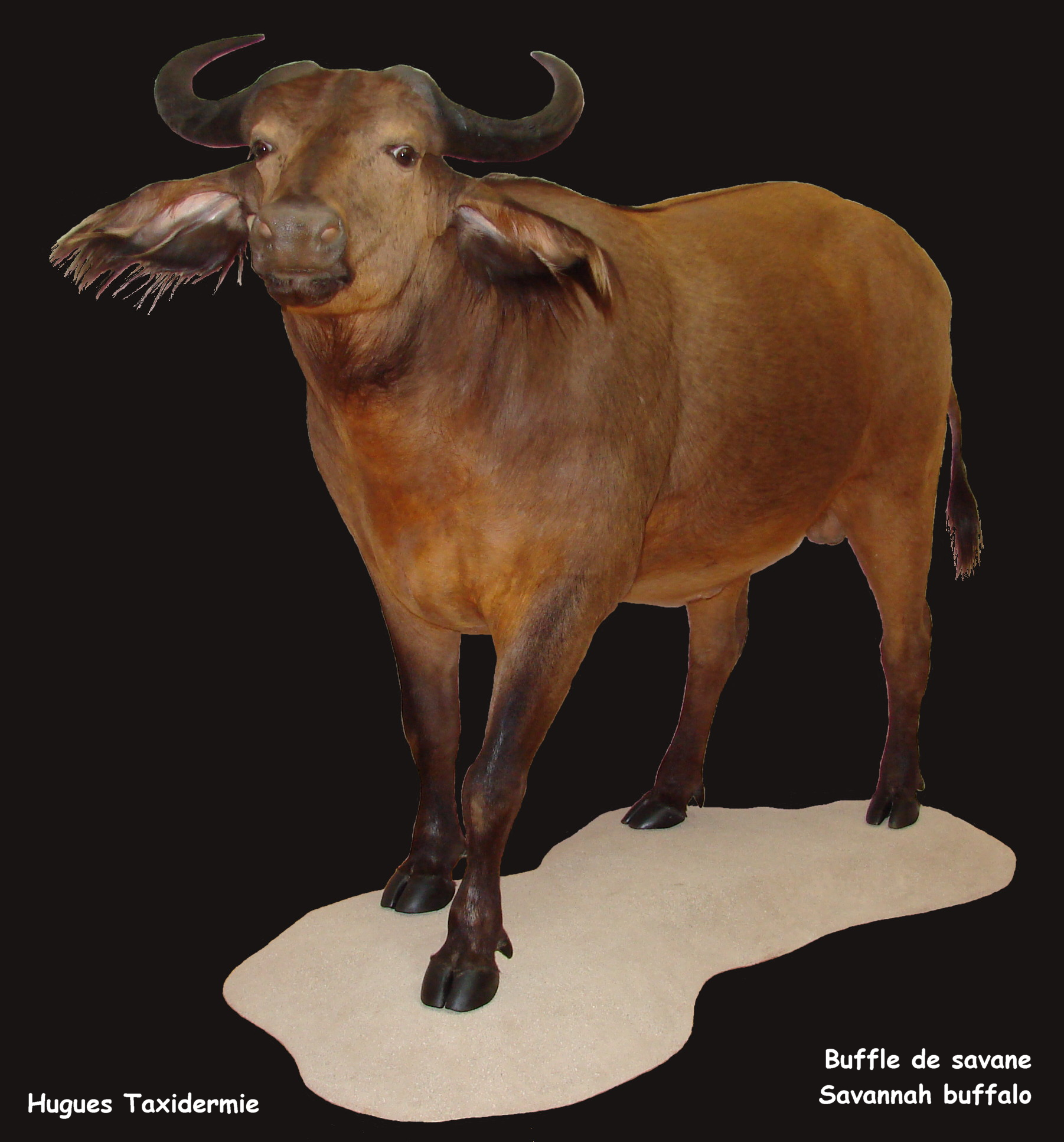 Buffle entier-Buffalo full mount.jpg