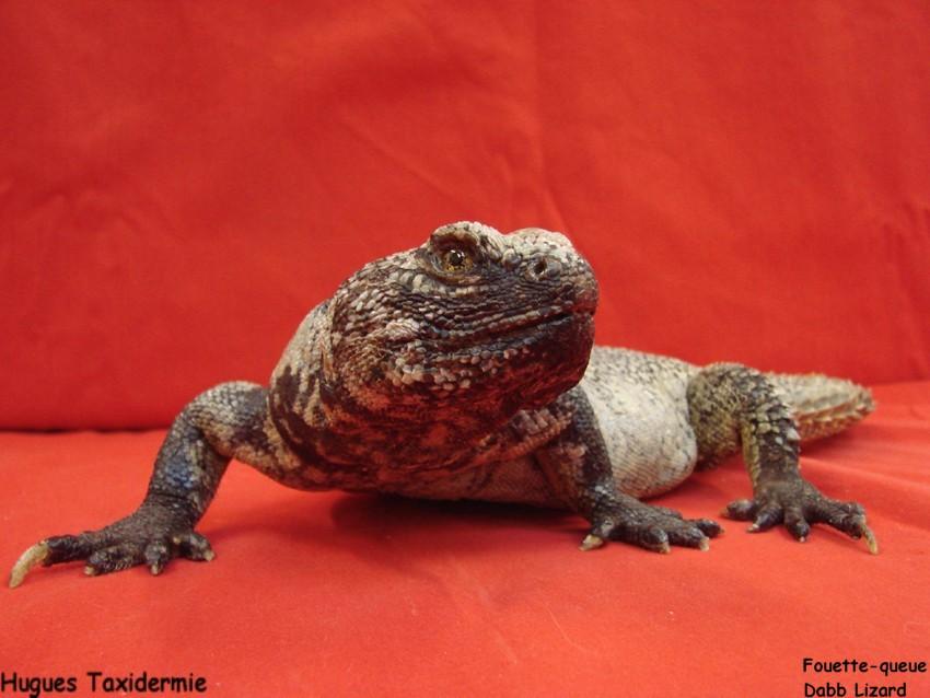 fouette+queue+dabb+lizard.jpg