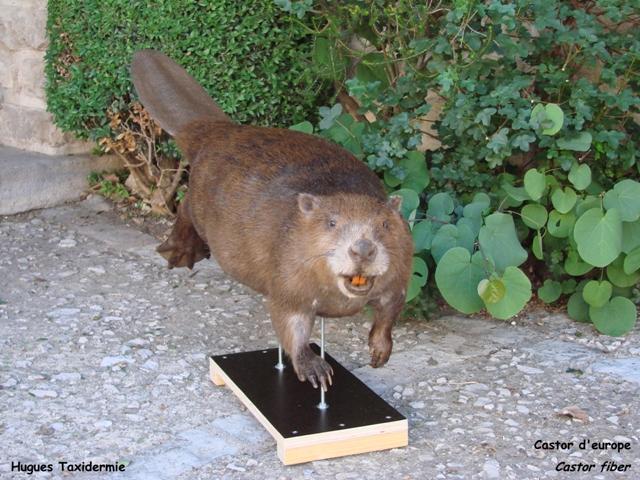 castor d'europe - european beaver -
