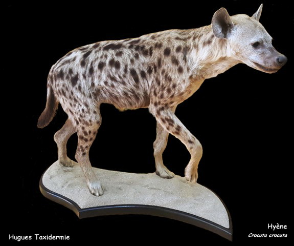 hyène_entière_-_full_mount_spotted_hyena