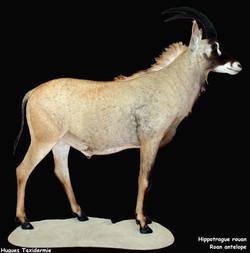 Hippotrague entier-Full mount Roan antelope.jpg