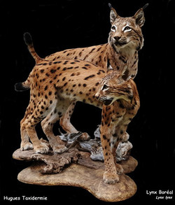 lynx boreal - full mount boreal lynx