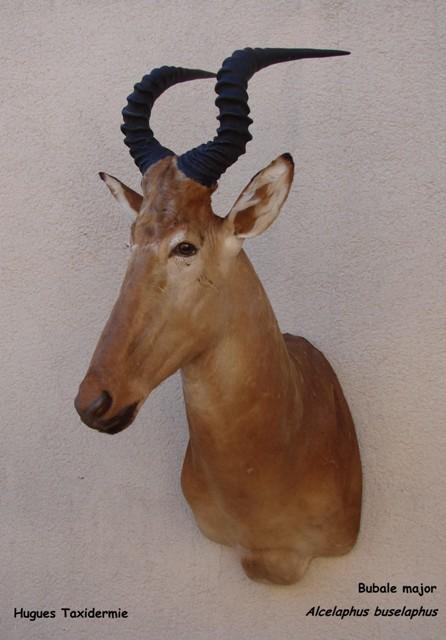 bubale major - hartebeest