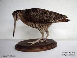 becasse - woodcock