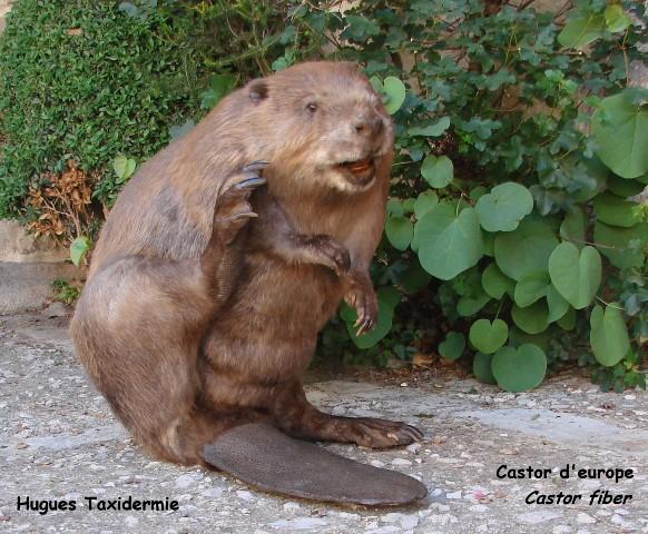 castor d'europe - european beaver