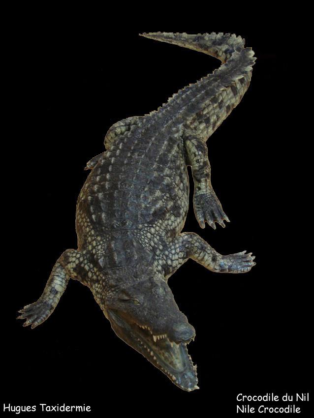 crocodile+du+nil+nile+crocodile.jpg