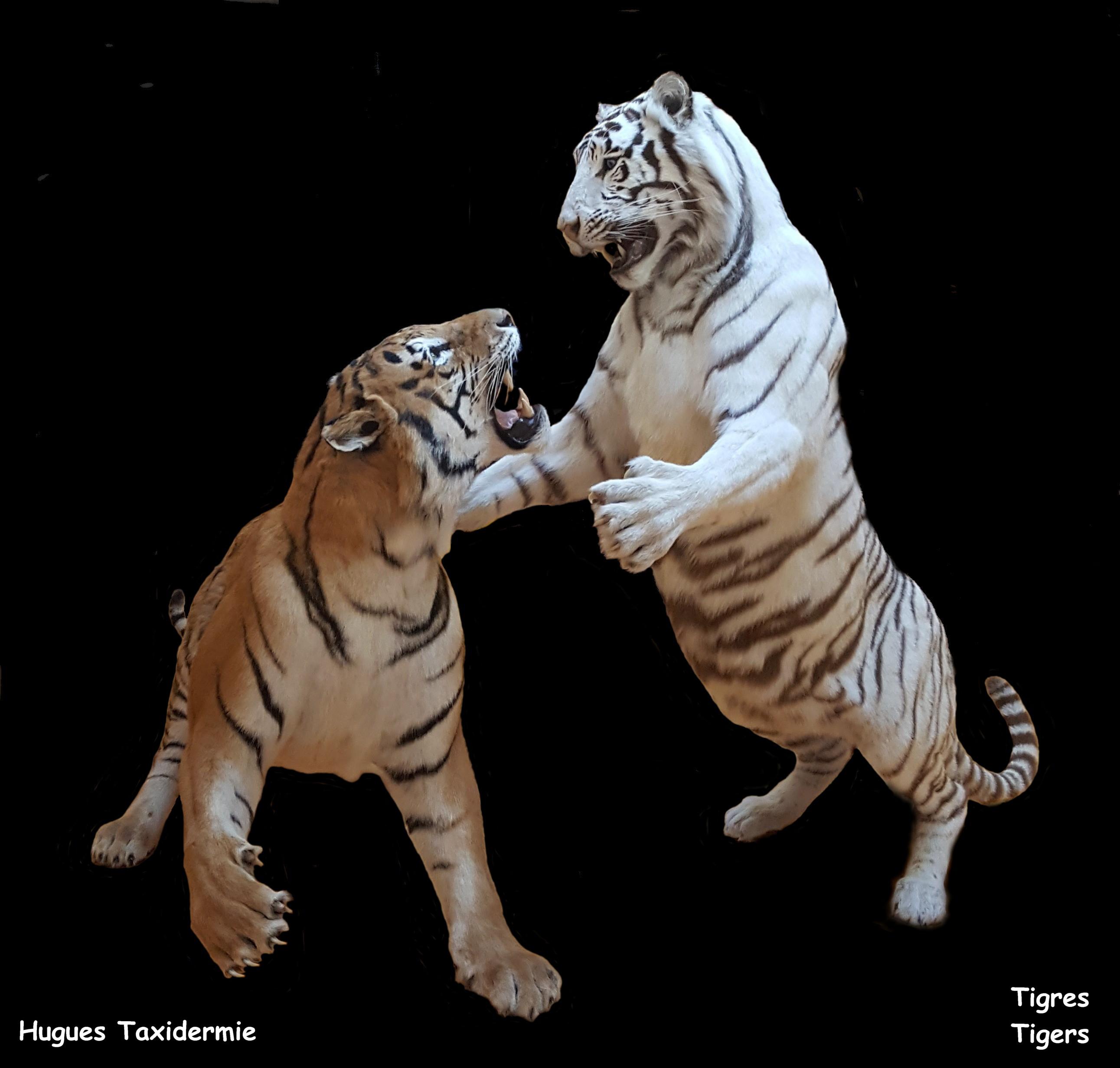 tigres 1