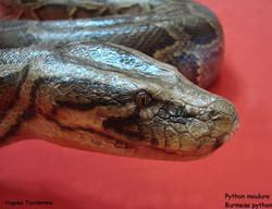 tete+python+moulure+burmese+python+head.jpg