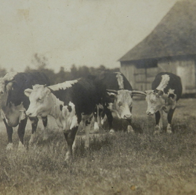 First White Face Cows in Shannon Area