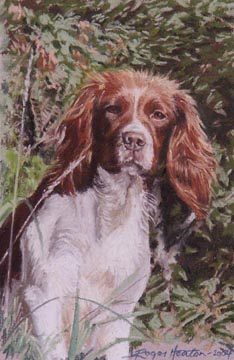 Springer Spaniel in setting