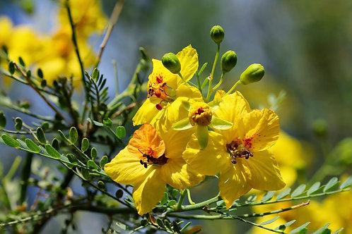Flower Essence Open Hope:  Blue Pale Verde