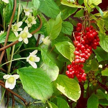 Schisandra:  The Five Flavor Fruit