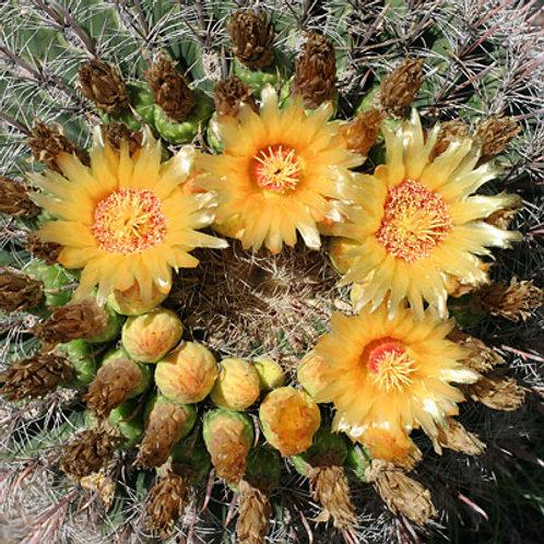 Flower Essence Emotional Calm:  Candy Barrel Cactus