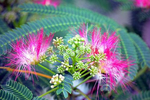 Mimosa Extract