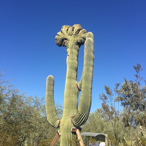 Flower Essence Motivating and Supporting:  Saguaro