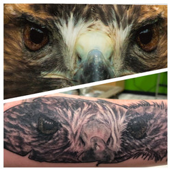 Red tailed hawk portrait in feather