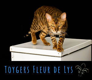 Chat toyger quebec canada cat usa