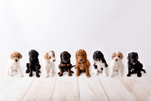 Toy goldendoodle puppies all together.jp