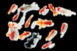 中川眼鏡店 | 金魚.png