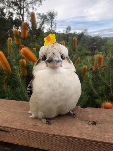 Birds of Oz x Lenko Kookaburra Sweater Launch!