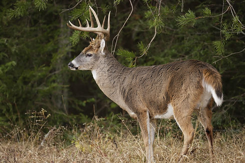 A white-tailed deer buck with large antl