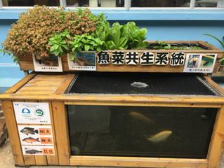 Aquaponics system魚菜共生系統