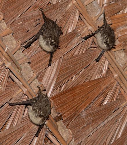 Bats 51. Rhynchonycteris naso in thatch