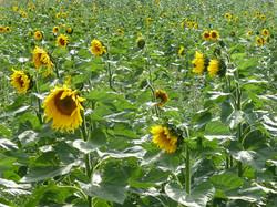 Sunflowers in Sutton