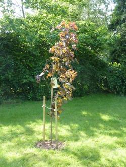 Diamond Jubilee Tree