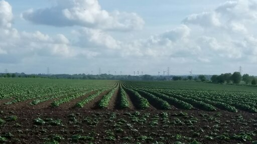 Potato field in Sutton