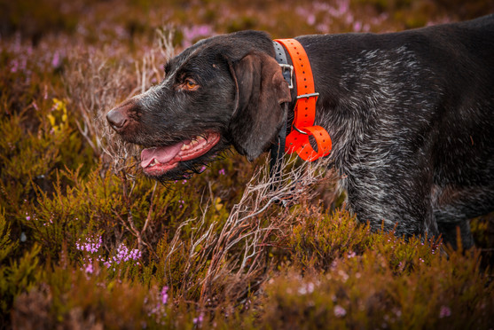 german-pointer-stock-&-barrel-photograph