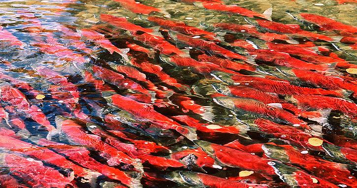 417-Sockeye-Salmon-#2.jpg
