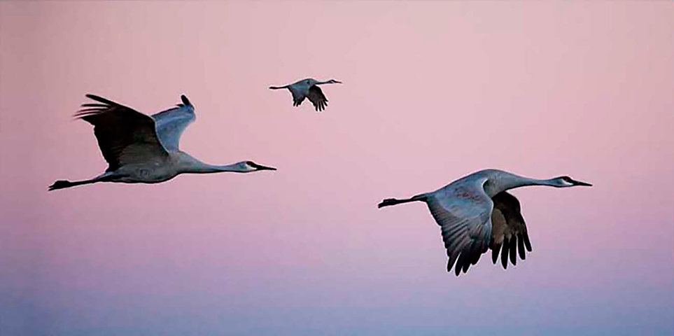 135-Sandhill-Cranes.jpg