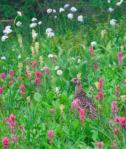 141 Grouse and Paintbrush.jpg