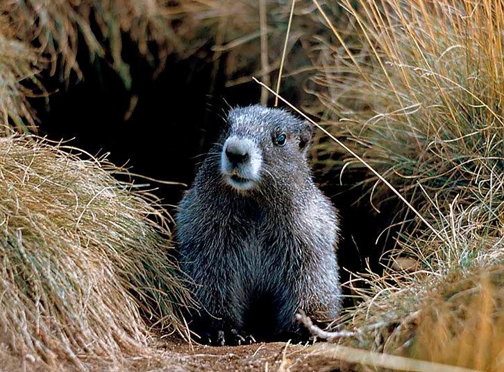 4-Marmot#2.jpg