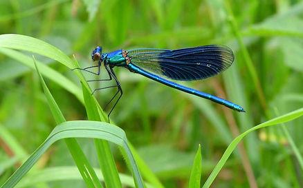 Libellule bleue.jpg