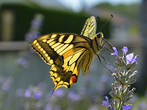Papillon, juillet 2019.JPG