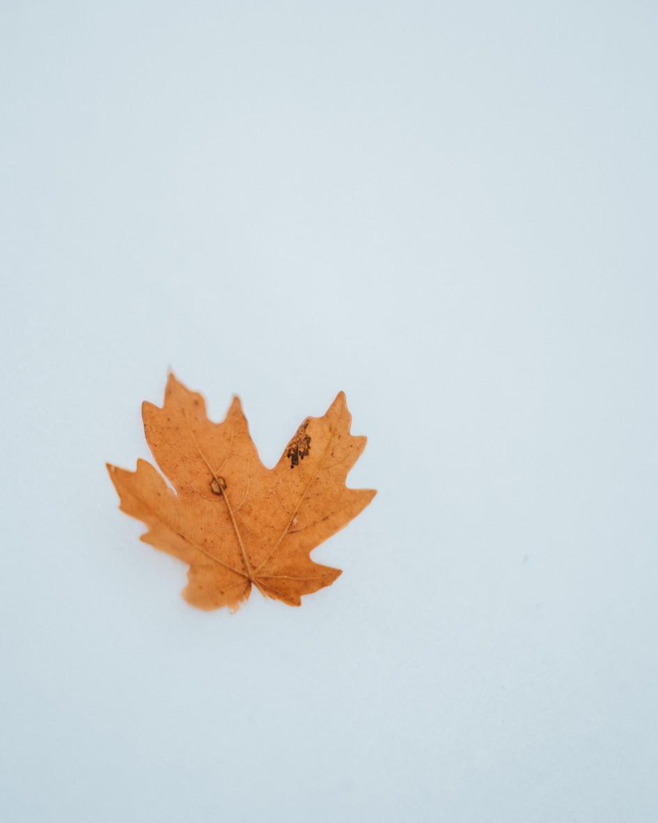 Single Frozen Maple Leaf.jpg