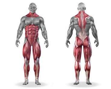 Muscles that are activated during the deadlift exercise infographic